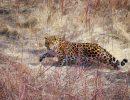 В России появятся места для наблюдений за леопардом